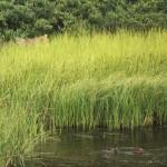lynx stalking ducks in a pond
