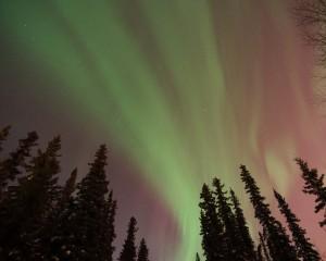 Aurora borealis over trees in Fairbanks, Alaska