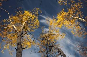 light hits the golden aspen leaves against a blue sky