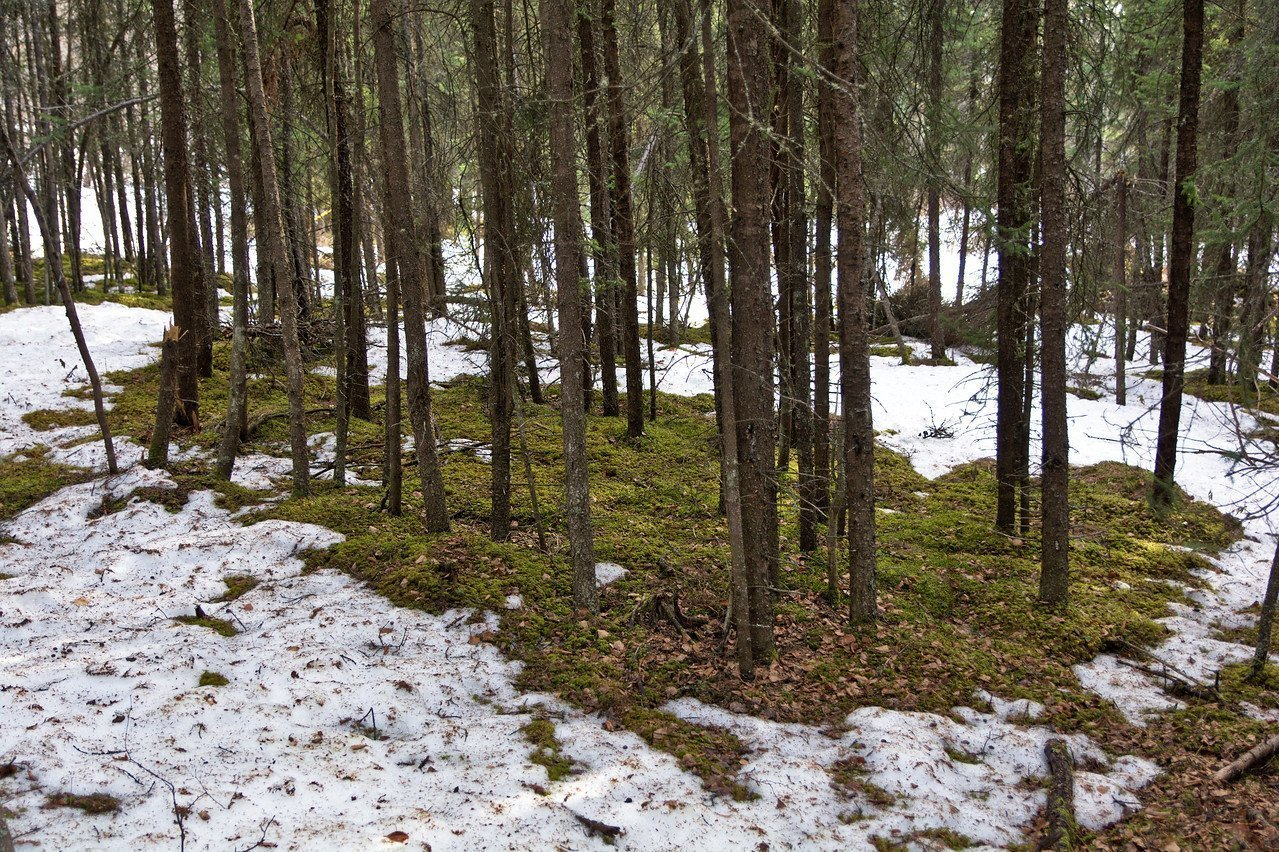 Little islands of moss covered forest floor appear in the snow. Spring in Fairbanks, Alaska.