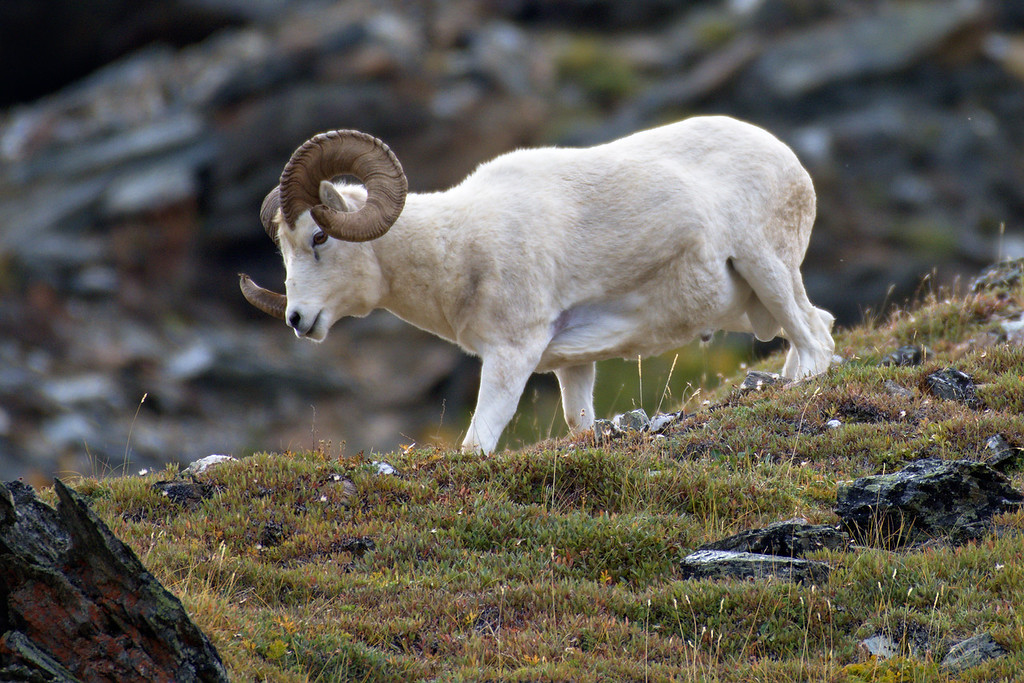 Dall Ram on Mt. Margaret near the Savage River.