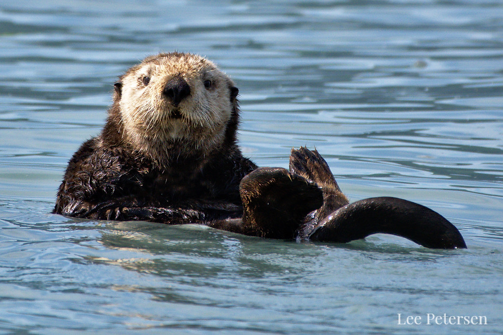 Sea Otter floating in Port Valdez, Alaska