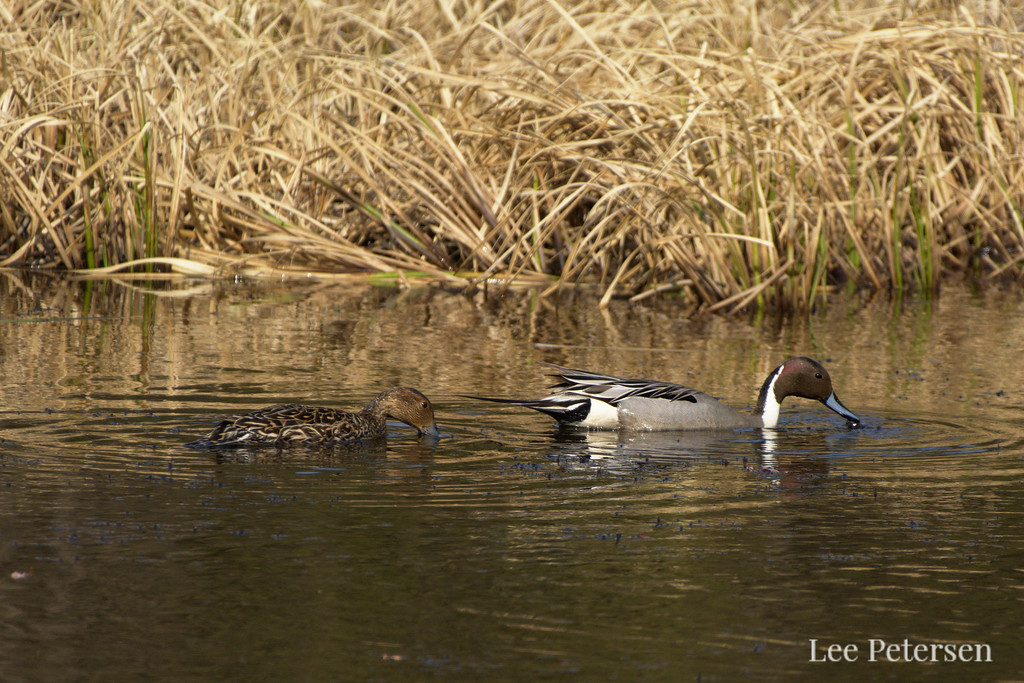 Northern Pintails near the Teklanika River