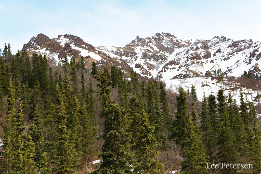 The Igloo forest in Denali National Park