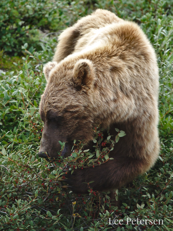 Grizzly bear eating soapberries along the Park Road in Denali National Park