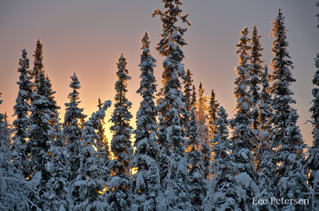 Sunrise light behind spruce trees in Alaska
