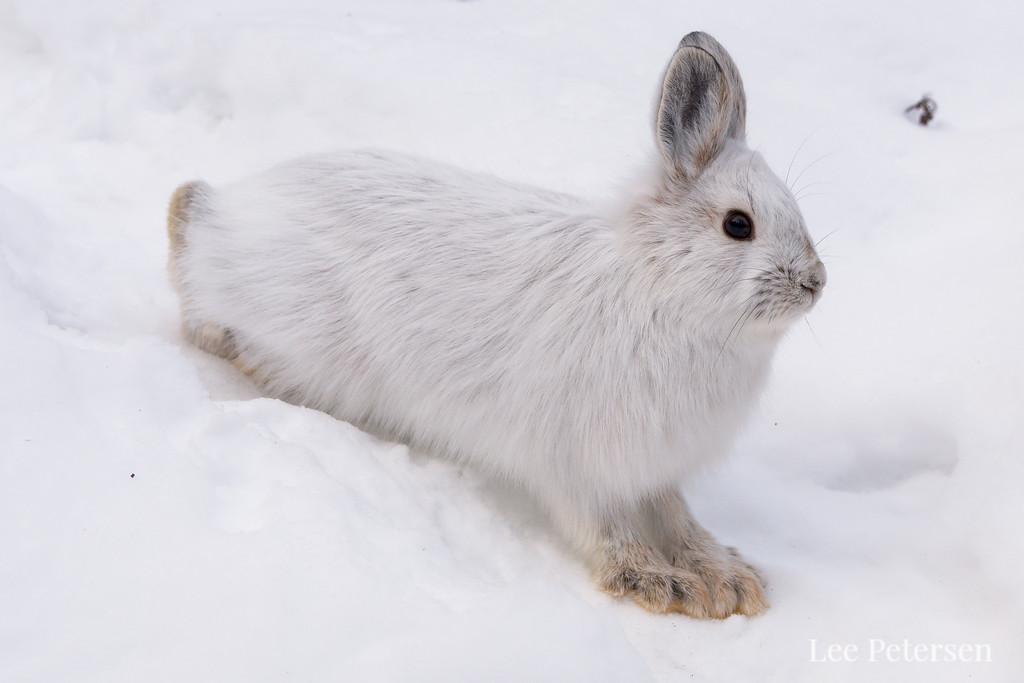 Snowshoe hare in Denali National Park & Preserve