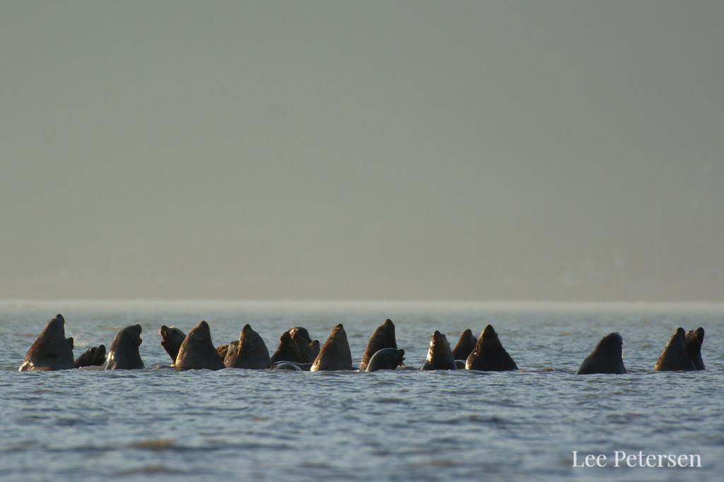Steller sea lions in Port Valdez near the Solomon Gulch Hatchery.