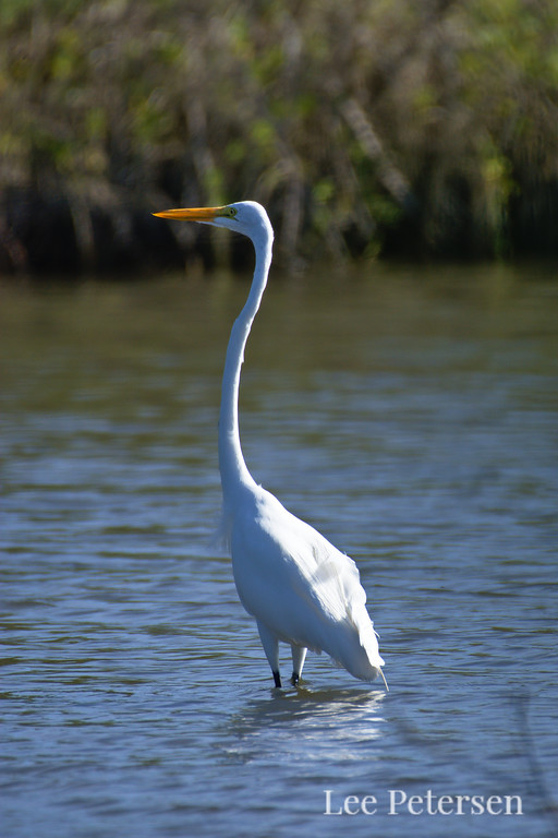 Great Egret at Pelican Island National Wildlife Refuge