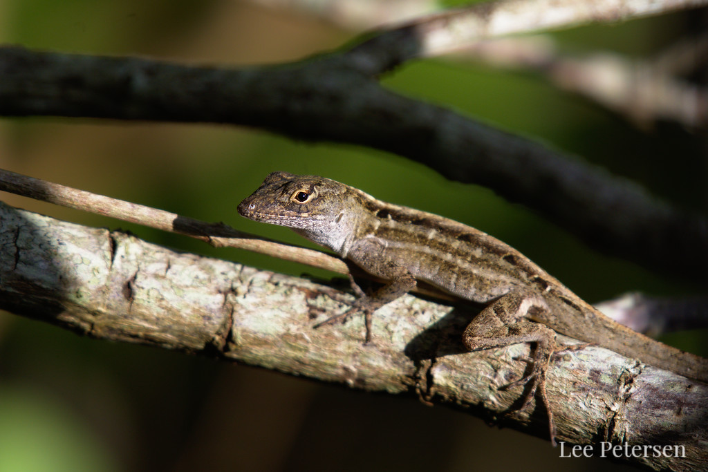 Green anole in a tree at Pelican Island National Wildlife Refuge in Florida
