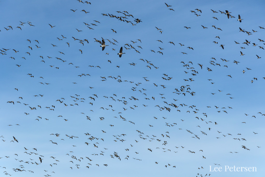 Migrating Canada Geese take to the sky over Creamer's Field