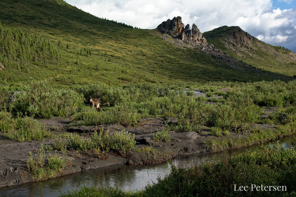 Caribou beneath rock outcroppings along the Savage River Loop Trail