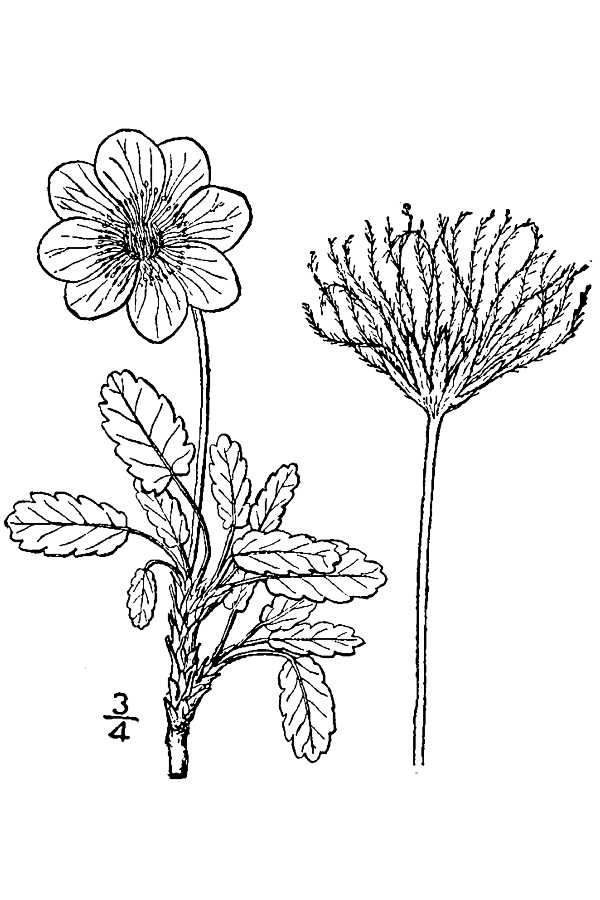 diagram of mountain avens