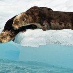 Sea otters on an iceberg in Alaska