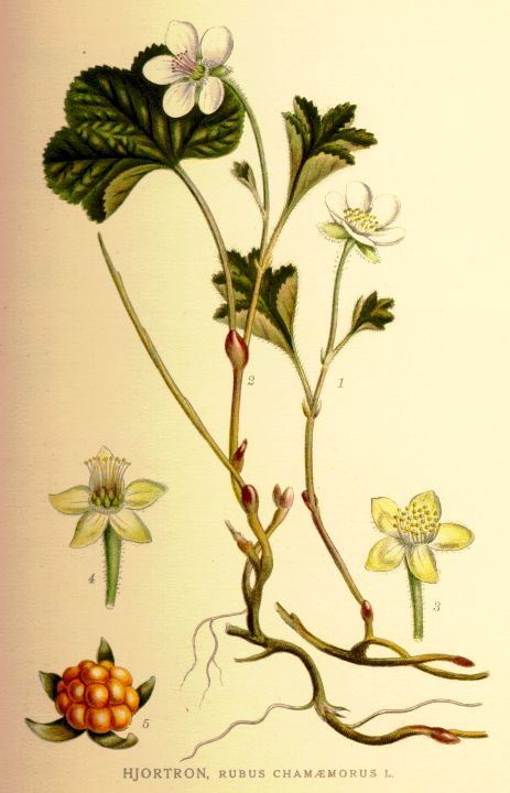 Artist rendition of rubus chamaemorus, cloudberry plant with flower, berry, and root.
